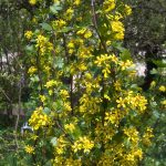 Obstgehölze selbst vermehren – Neue Goldjohannisbeeren durch Stecklinge