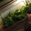 Gemüse veredeln – Grundrezept für Grünkohlchips