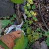 Obstgehölze hegen und pflegen – Herbstpflege für Brombeeren