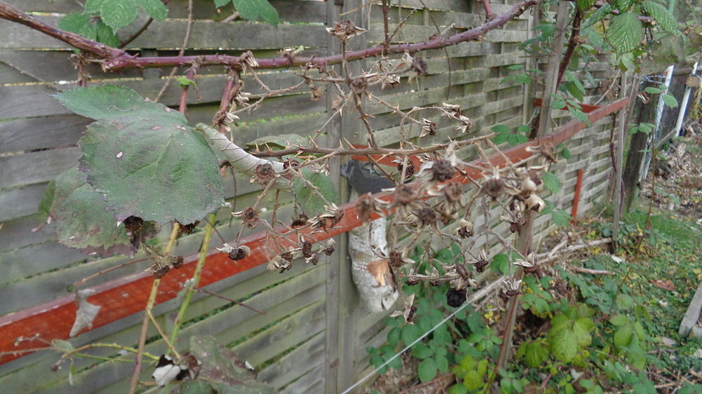 Lieblings Obstgehölze hegen und pflegen – Herbstpflege für Brombeeren @NB_74