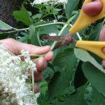Kleines ABC der Erntehilfen – Holunderblüten ernten