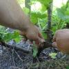 Obstgehölze hegen und pflegen – Jostabeere am Spalier im 3. Jahr