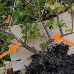 Obstgehölze hegen und pflegen – Jostabeere ans Spalier pflanzen