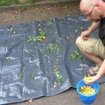 Kleines ABC der Erntehilfen – Mirabellen ernten und entsteinen