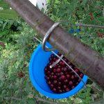 Kleines ABC der Erntehilfen - Sauerkirschen ernten und entkernen