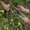Obstgehölze hegen und pflegen – Spindelerziehung und Sommerpflege an einer schwarzen und einer weißen Johannisbeere