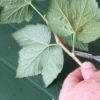 Obstgehölze hegen und pflegen – Sommerroutine an einer schwarzen Johannisbeere