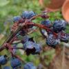 Kleines ABC der Erntehilfen – Vertrocknete Heidelbeeren retten und verarbeiten