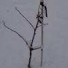 Obstgehölze hegen und pflegen – Weiße Johannisbeere: Spindel im 2. Standjahr