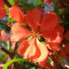Obstgehölze bestimmen – Zierquitte