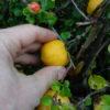 Kleines ABC der Erntehilfen – Zierquitten ernten, verduften und gelieren