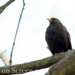 Vogelstimmenlexikon - Amsel