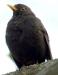 Vogelstimmenlexikon – Amsel