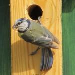 Vogelstimmenlexikon - Blaumeise