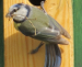 Vogelstimmenlexikon – Blaumeise