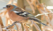 Vogelstimmenlexikon – Buchfink