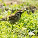 Vogelstimmenlexikon - Feldsperling