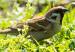 Vogelstimmenlexikon – Feldsperling