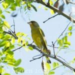 Vogelstimmenlexikon - Grünfink