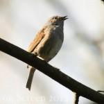 Vogelstimmenlexikon - Heckenbraunelle