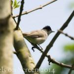 Vogelstimmenlexikon - Mönchsgrasmücke