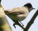 Vogelstimmenlexikon – Mönchsgrasmücke