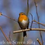 Vogelstimmenlexikon - Rotkehlchen
