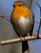 Vogelstimmenlexikon – Rotkehlchen