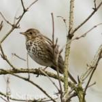 Vogelstimmenlexikon - Singdrossel