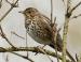 Vogelstimmenlexikon – Singdrossel