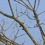 Vogelstimmenlexikon - Zilpzalp