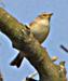 Vogelstimmenlexikon – Zilpzalp